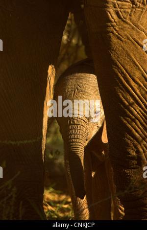 Baby African Bush Elephant ( Loxodonta africana) peers between mother's legs in Samburu National Park, Kenya - Stock Photo