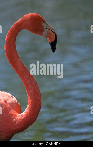 American, or Caribbean or Cuban or Rosy or Greater Flamingo (Phoenicopterus ruber ruber). Portrait. - Stock Photo