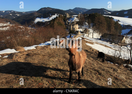 The French Alpine goats (Capra aegagrus hircus) grazing near the castle Sklabina in the Velka Fatra National Park, - Stock Photo