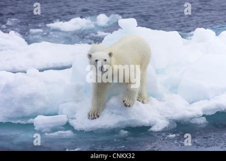 Polar bear on sea ice off coast of Spitzbergen, Svalbard, Arctic Norway, Europe - Stock Photo