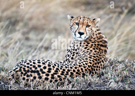 Cheetah lying down, Acinonyx  jubatus, Masai Mara National Reserve, Kenya, Africa - Stock Photo