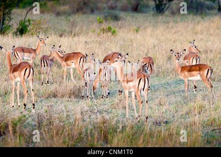 Herd of Thomson's Gazelles,  Eudorcas thomsonii , in the Masai Mara National Reserve, Kenya, Africa - Stock Photo