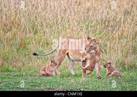 African Lioness carrying a Cub in her mouth with two Cubs beside her,  Panthera leo, Masai Mara National Reserve, - Stock Photo