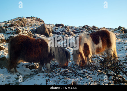 Two ponies on Belstone Dartmoor in winter - Stock Photo