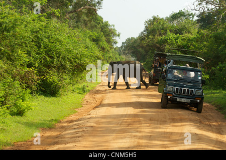 An wild elephant crossing road among safari jeeps, Yala, Sri Lanka - Stock Photo