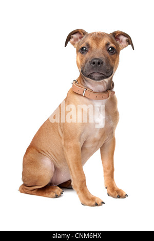 Staffordshire Bull Terrier puppy in front of a white background - Stock Photo