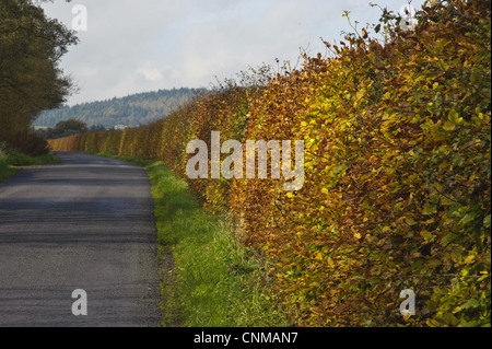 Common Beech Fagus sylvatica hedge leaves in autumn colour growing beside road Bleasdale Lancashire England november - Stock Photo