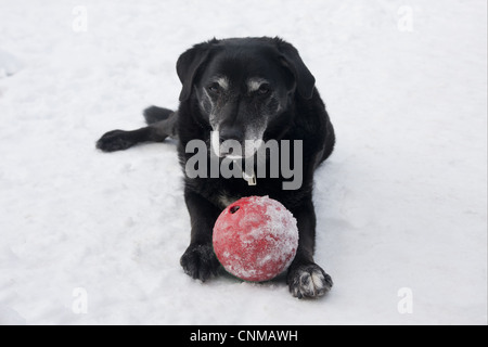 Domestic Dog, labrador cross mongrel, elderly adult, laying with ball in snow, England, december - Stock Photo