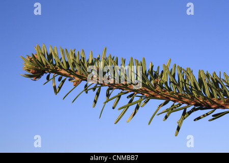 Nordmann Fir (Abies nordmanniana) close-up of needles, commerically grown christmas tree, Suffolk, England, january - Stock Photo