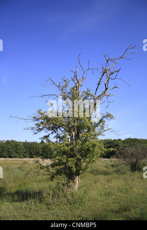 Common Hawthorn Crataegus monogyna habit dieback growing valley fen reserve habitat Market Weston Fen Market Weston - Stock Photo