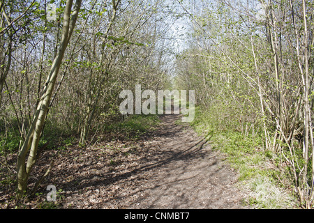 Common Hazel (Corylus avellana) ancient coppiced woodland habitat, Combs Wood Reserve, Combs Ford, Suffolk, England, - Stock Photo