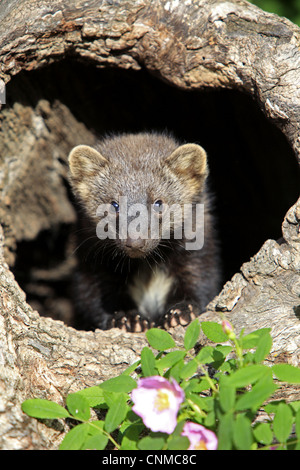 Fisher (Martes pennanti) fourteen-weeks old young, in hollow tree trunk, Montana, U.S.A., june (captive) - Stock Photo