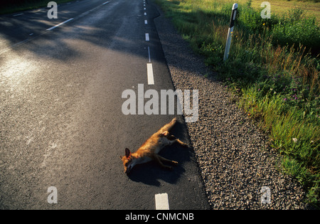 European Red Fox (Vulpes vulpes) dead adult, roadkill casualty on road, Sweden, july - Stock Photo