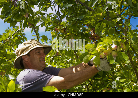 Victoria Plum (Prunus domestica) fruit, picker harvesting crop, Plumbe and Maufe Orchard, North Norfolk, England, - Stock Photo