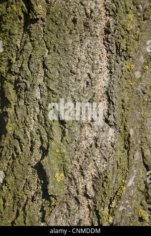Lombardy Poplar (Populus nigra 'italica') close-up of bark, Wickham Skeith, Suffolk, England, october - Stock Photo