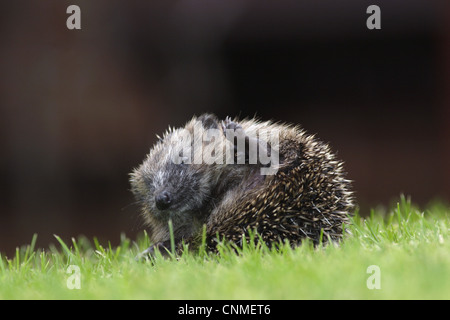 European Hedgehog (Erinaceus europaeus) young, partially curled up in defensive ball, on garden lawn, Yorkshire, - Stock Photo