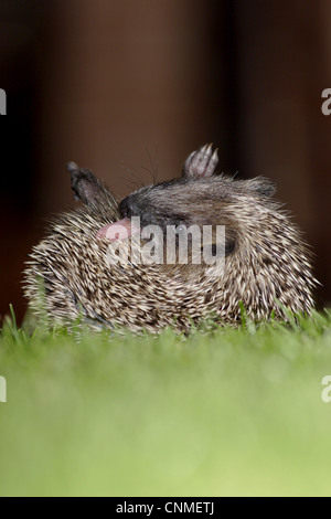 European Hedgehog Erinaceus europaeus young anointing itself saliva froth on garden lawn at night Yorkshire England - Stock Photo