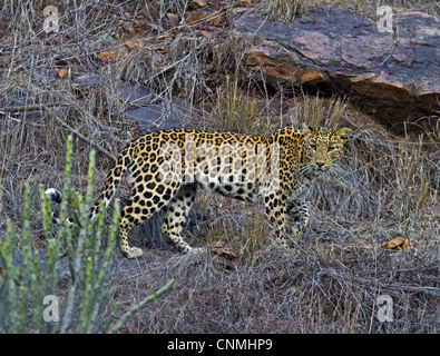 Indian Leopard (Panthera pardus fusca) adult, walking on rocky cliff, Ranthambhore, Rajasthan, India, january - Stock Photo