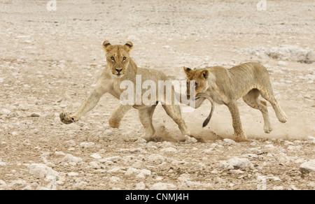 Lion (Panthera leo) two juveniles, running and playing, one biting others tail, Etosha N.P., Namibia - Stock Photo