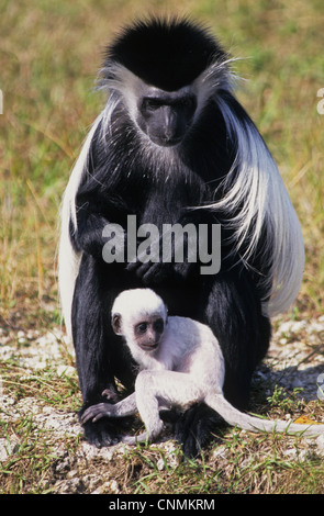 Angolan Colobus (Colobus angolensis) adult female with baby, sitting on ground (captive) - Stock Photo