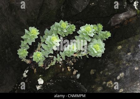 Roseroot (Rhodiola rosea) flowering, growing on rocky cliff, Varanger, Norway, may - Stock Photo