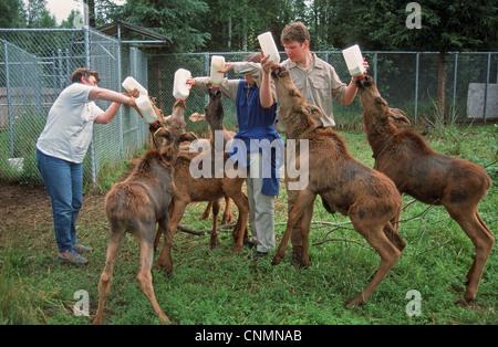American Moose (Alces alces americana) six calves, feeding, being bottle fed milk by zookeepers, Alaska Zoo, Alaska, - Stock Photo