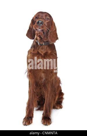 Irish setter hound in front of a white background - Stock Photo