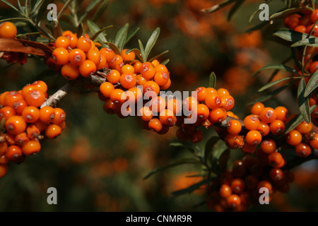 Common sea buckthorn hippophae rhamnoides flowers stock photo royalty free image 57739273 - Growing sea buckthorn ...