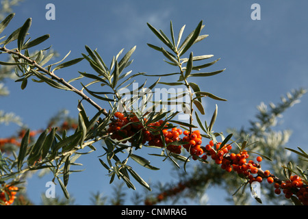 Ala kol lake tien shan mountain kyrgyzstan central asia stock photo royalty free image - Growing sea buckthorn ...
