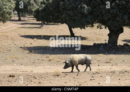 Domestic Pig boar walking degraded dehesa habitat since fighting bulls demand lowered breeders moved pig breeding - Stock Photo