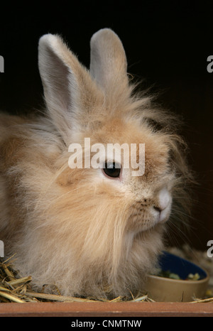Domestic Rabbit, Lionhead, adult female, close-up of head, sitting in hutch beside food bowl, England, october - Stock Photo