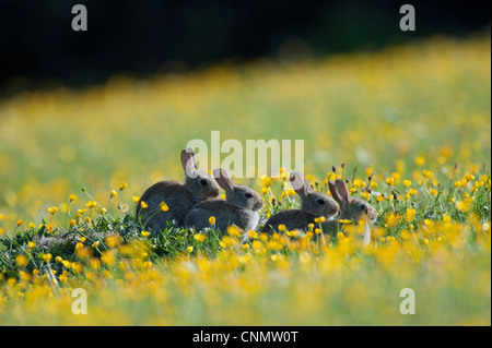European Rabbit Oryctolagus cuniculus four young sitting amongst buttercups wildflower meadow Swaledale Yorkshire - Stock Photo