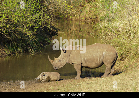 White Rhinoceros Ceratotherium simum adult female standing guard sleeping calf edge waterhole Red-billed Oxpeckers - Stock Photo
