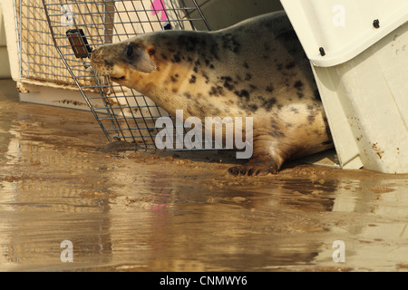 Grey Seal (Halichoerus grypus) rescued pup, being released from cage on beach, Woolocombe, North Devon, England, - Stock Photo