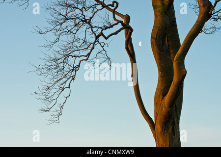 Close up detail of tree, with half moon between branches - Stock Photo