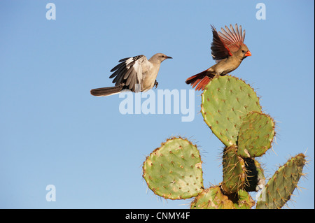 Northern Mockingbird (Mimus polyglottos), adult and Northern Cardinal (Cardinalis cardinalis) landing on Cactus, - Stock Photo