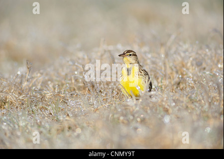 Eastern Meadowlark (Sturnella magna), adult walking on ice covered grass, Dinero, Lake Corpus Christi, South Texas, - Stock Photo