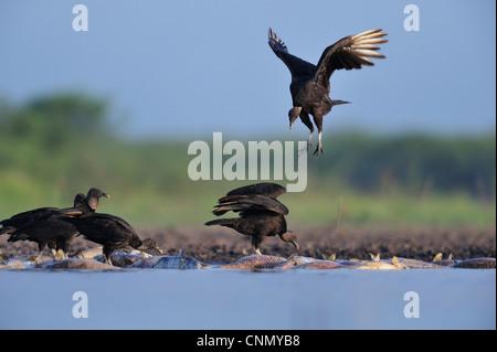 Black Vulture (Coragyps atratus), adults eating on dead fish, Dinero, Lake Corpus Christi, South Texas, USA - Stock Photo