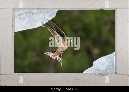 Barn Swallow (Hirundo rustica), adult flying through window, Dinero, Lake Corpus Christi, South Texas, USA - Stock Photo