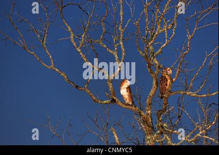 Barn Owl (Tyto alba), adult at night, Dinero, Lake Corpus Christi, South Texas, USA - Stock Photo