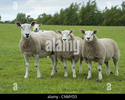 Domestic Sheep, Texel x Rouge ewes with Beltex sired lambs, standing in pasture, Bradford, West Yorkshire, England, - Stock Photo