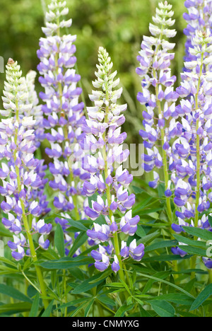 violet and white full-blown lupin on meadow - Stock Photo