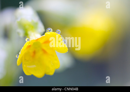 Cowslips; Primula veris; in dew; spring; UK - Stock Photo