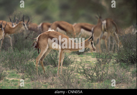 Springbok Antidorcas marsupialis adult female giving birth to calf standing near herd Kgalagadi Transfrontier Park - Stock Photo