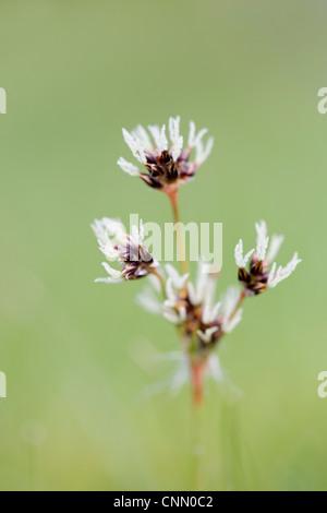 Field Wood Rush; Luula campestris; in flower; UK - Stock Photo