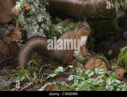 Eurasian Red Squirrel (Sciurus vulgaris) adult, foraging amongst damp log pile, Dumfries and Galloway, Scotland, - Stock Photo