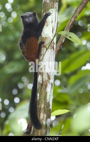 Saddle-back Tamarin Saguinus fuscicollis adult clinging branch tree Los Amigos Biological Station Madre de Dios - Stock Photo