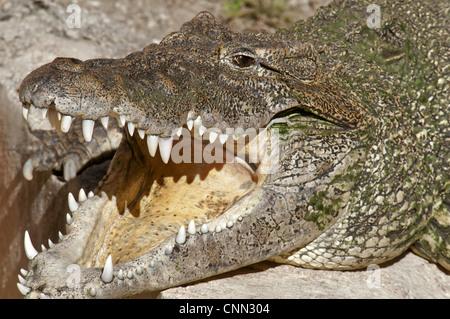 Cuban Crocodile (Crocodylus rhombifer) adult, with mouth open, close-up of head (captive) - Stock Photo