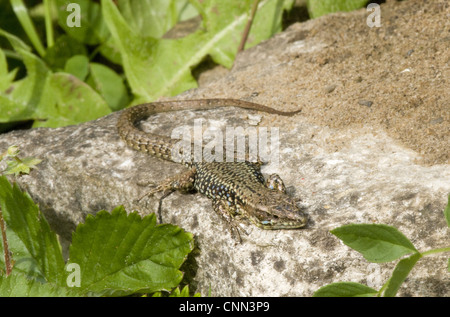 Common Wall Lizard (Podarcis muralis) introduced species, adult male, basking on rock, Dorset, England, may - Stock Photo