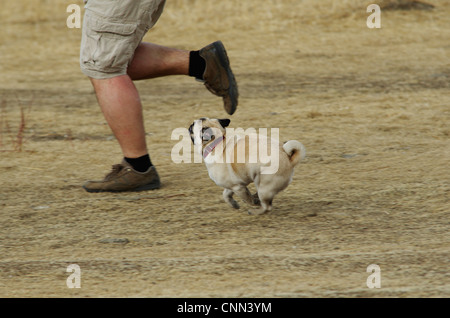 A fawn pug running beside it's owner in the early spring. - Stock Photo